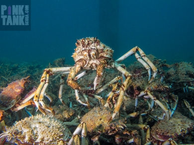 LOGO Spider Crab King of the Castle