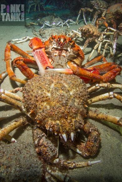 LOGO Spider Crab Portrait Moult 29 June 2018 Dive 916