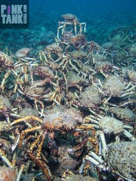 LOGO Spider Crabs Stacks On