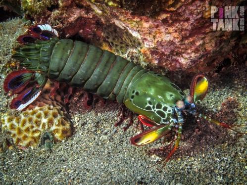 LOGO Bali Mantis Shrimp