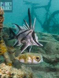 LOGO Boarfish and Globefish at Elsas 23 Jan 2018