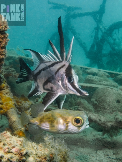 LOGO Boarfish and Globefish at Elsas 23 Jan 2018