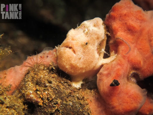 LOGO Cream frogfish strike a pose landscape