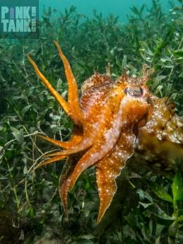 LOGO Cuttle in Kelp