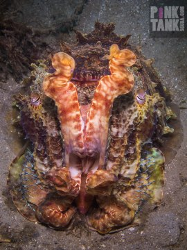LOGO Cuttlefish Defensive Stance from Above