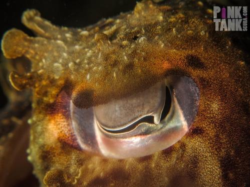 LOGO Cuttlefish Eye