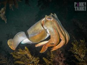 LOGO Golden Cuttlefish Landscape Blairgowrie 26 June 2018 Dive 913