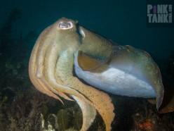 LOGO Huge Cuttlefish Side On