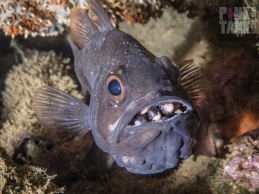 LOGO Mouth Brooding Fish 29 November 2017