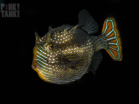 LOGO Ornate Cowfish against black