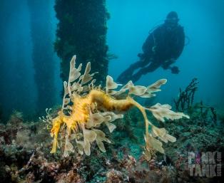 LOGO Leafy Seadragon with Diver Silouhette